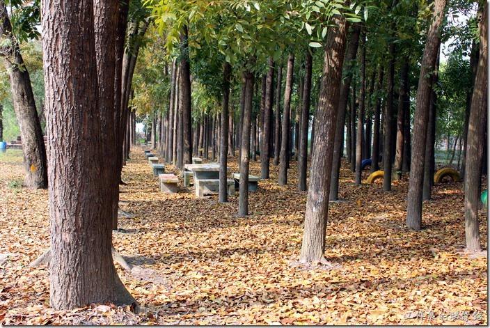 台南-菁寮國小校園內有近四百棵的「桃花心木」,每到清明前後就會開始落葉,由於落葉太多,怎麼掃不也掃不完,所以校方幾乎是放任樹葉以自由的型態呈現,有想要走在整片落葉感受浪漫的朋友,來「菁寮國小」走走就對了。