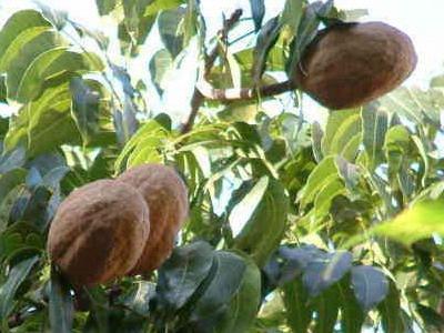 桃花心木是一種很奇特的樹木,果實成熟後會從樹上暴裂成五半左右,紅褐色的種子有翅膀,會像直昇機螺旋漿般地旋轉飄落下來,甚為有趣,小朋友常會拿來當玩具。