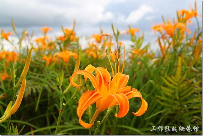 これは六十石山に咲いているはなです(萱草)