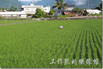 台東池上-自行車道。台東縣池上鄉蓊郁的稻田。
