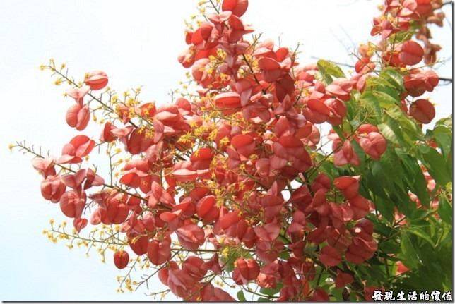 當台灣欒樹轉紅,也意味著秋天的腳步近了