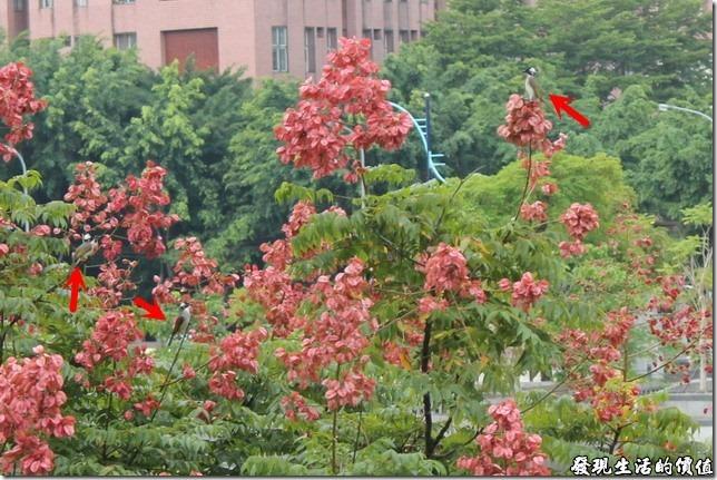 在台灣欒樹的樹梢上沒有見著赤腰燕,卻見幾隻白頭翁在樹梢上徘徊。