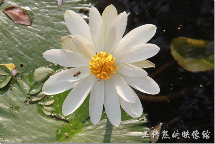 台南公園內的蓮花正在盛開,不妨留點時間來觀賞這原本就有的花朵。