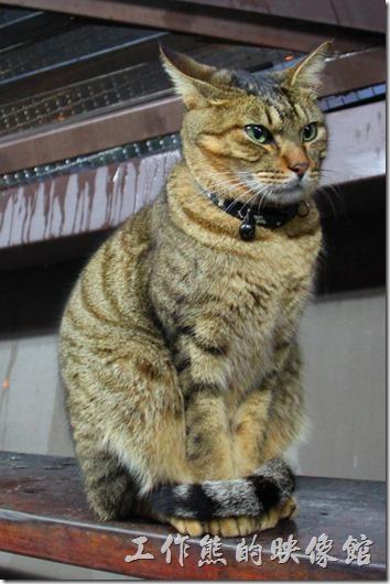 台北平溪線-侯硐。這是個下雨的冬天在「貓造型的人行天橋」上拍到的,這些貓咪為了躲雨避寒來到天橋休息,這隻貓咪有著雄赳赳的英姿,尾巴捲曲著自己的身體成一個圓圈 ,拍照的時候就一直是這個表情,後來累了乾脆把眼睛閉起來休息,不理我了。