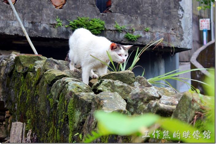 平溪線一日遊-侯硐貓村。這隻貓好像正準備出發獵食!這裡應該隨時都可以吃飽才對啊!不過看牠沒有帶項圈,有可能是隻野貓。