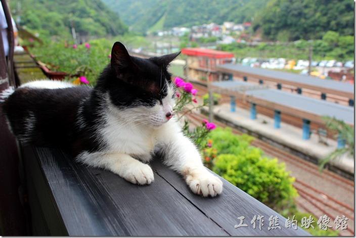 平溪線一日遊-侯硐貓村。這隻貓也在假寐!