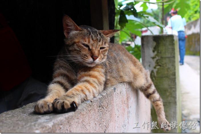 平溪線一日遊-侯硐貓村。看我多厲害,貓語:「拍好了沒,我這姿勢可不能維持太久!」,不過我走了一圈後看牠還是一直維持這個姿勢,厲害!