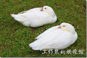 台北-誠品松菸。天氣冷颼颼,連愛玩水的鴨子都懶洋洋的上岸縮成一團睡起覺來了,完全不理會旁人的眼光。