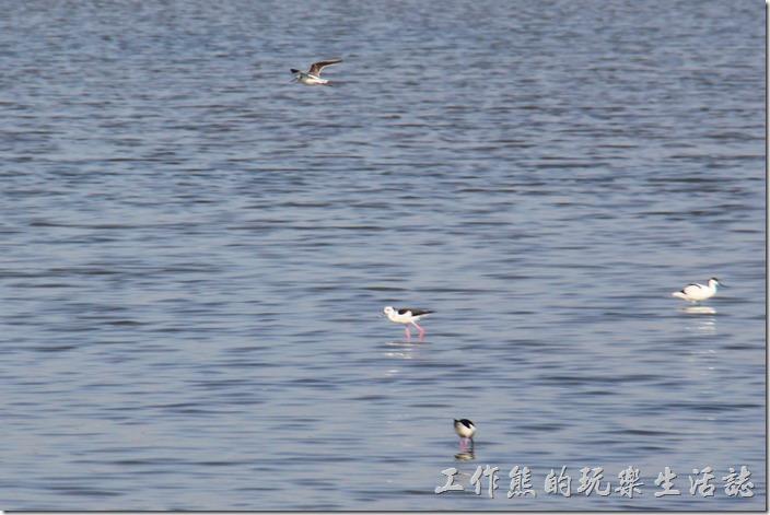 台南-四草竹筏綠色隧道(水鳥)。運河旁邊的溼地有許多的水鳥在嬉戲與覓食,下船後不妨走兩步路過來看看。
