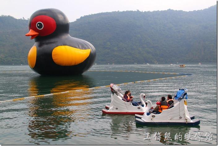 花蓮-鯉魚潭紅面番鴨。許多的天鵝船都圍繞在「紅面番鴨」的周圍拍照,不過在潭面上就只能拍到鴨子的屁股。