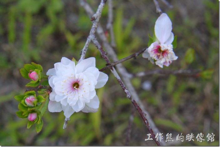 花蓮-理想大地渡假村。這個應該是郁李花。長得有點類似梅花,度假村內有好幾株,拜訪的時候剛好在開花。