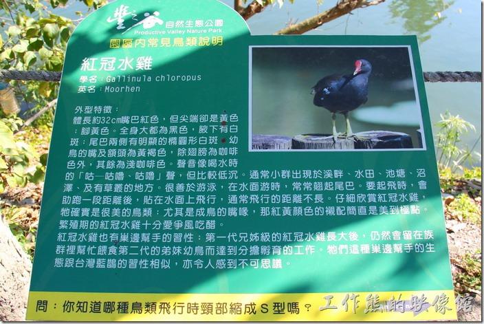 花蓮-理想大地渡假村-豐之谷生態公園(紅冠水雞)