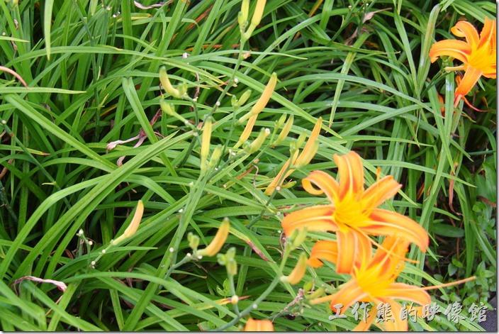 南投頭社-金針花田。一般我們採收的金針都是這些含苞未放的花苞。