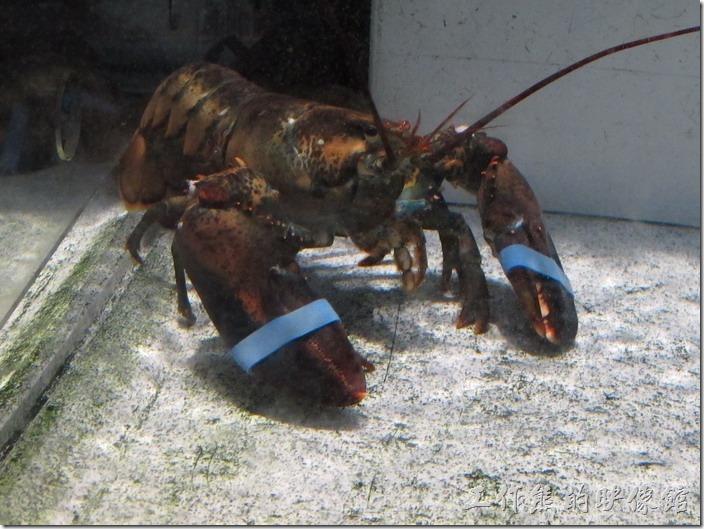 這間在Louisville的RED LOBSTER的櫃台前就養了幾隻龍蝦供客人參觀。