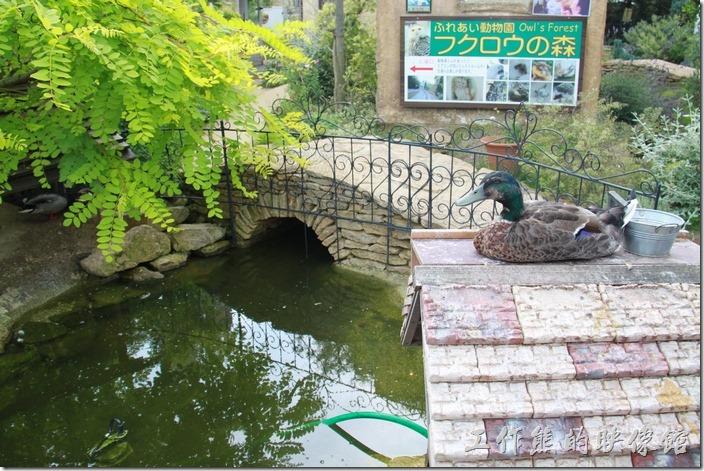 剛開始的時候以為這綠頭鴨是假的,因為牠幾乎都不會動。
