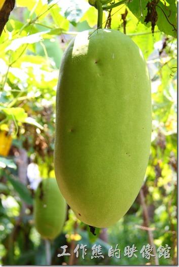 這不是南瓜,而是瓠瓜。