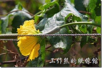 南投日月潭-菜瓜(母株)