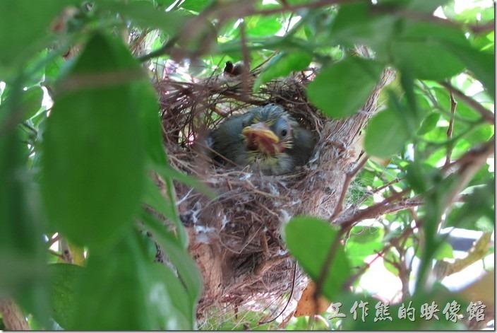 羽翼快豐的綠繡眼雛鳥。