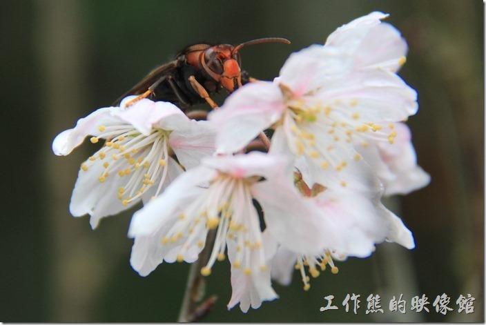 嘉義-奮起湖。這隻停在桃花上的昆蟲,有人說是虎頭蜂,因為沒有研究也不感亂說。