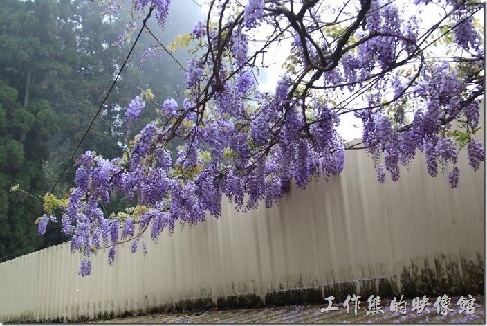 往奮起湖老街的路口有一株紫藤花,正開著成串成串的美麗花海。