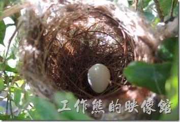 綠繡眼一顆蛋