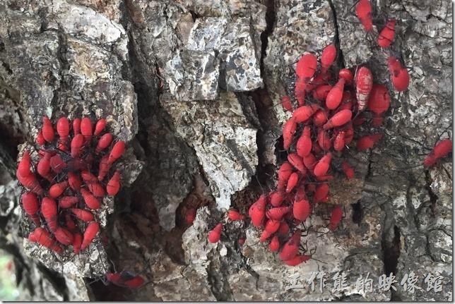 這些椿象聚集在其他樹種的枝幹上吸食樹汁。這些椿象聚集在其他樹種的枝幹上吸食樹汁。