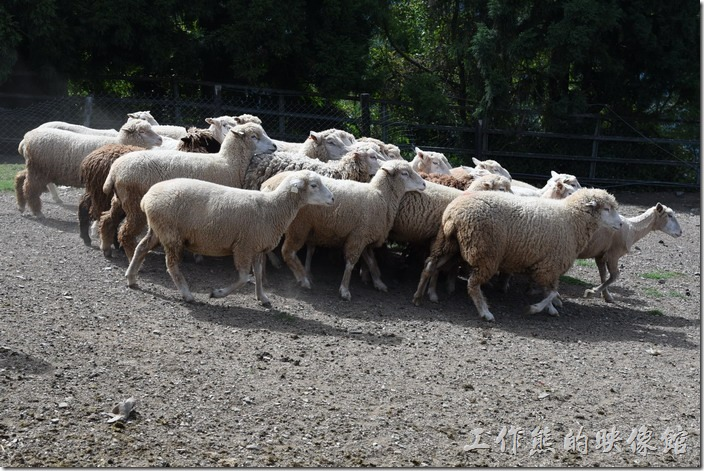 南投-青青草原。綿羊秀開始,綿羊們開始有些鼓譟了。