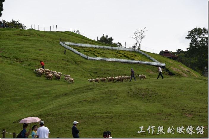 南投-青青草原。一小群的綿羊會被事先趕上山坡。