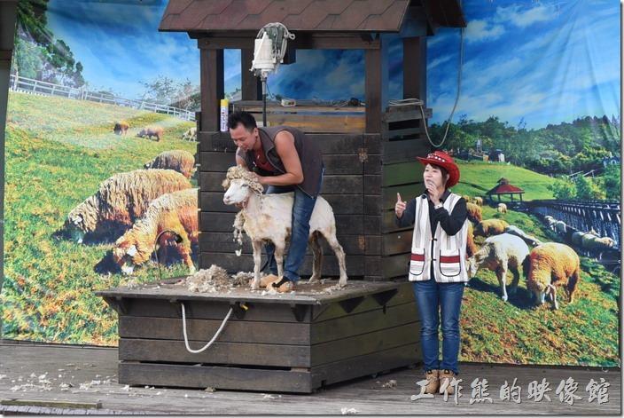 南投-青青草原。綿羊先生表演完脫衣秀之後,還會娛樂一下大家,用綿羊的毛放在綿羊的頭上,假裝帶著綿羊帽的綿羊。