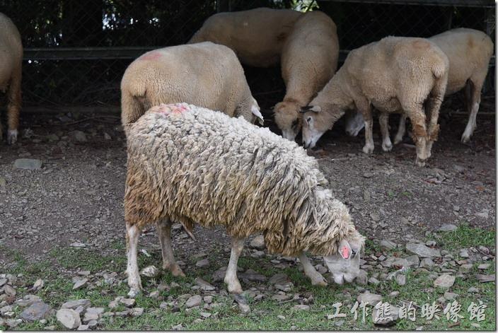 南投-青青草原。剃過毛與為被剃過毛的綿羊。