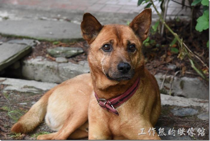 南投清境-珂之幄山莊。民宿主人有養了兩隻狗狗,一黃一黑,兩隻會分工,黃狗大多照顧前門,黑狗則負責後院。