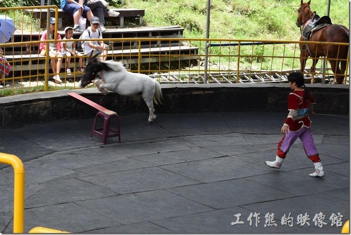 南投-青青草原。馬術表演也有些小品,這個小朋友帶著迷你馬表演跳欄杆。