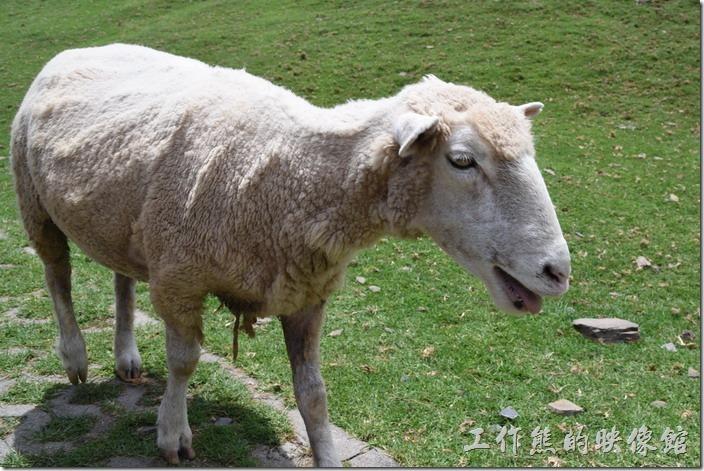 南投-青青草原。剛剃完毛的綿羊。