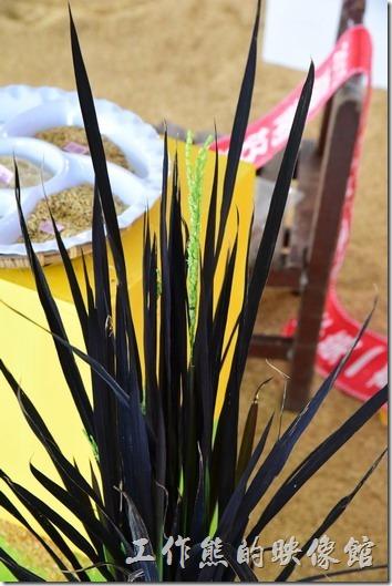 台南後壁農會彩繪稻米10