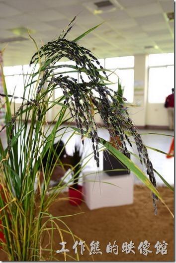 台南後壁農會彩繪稻米16