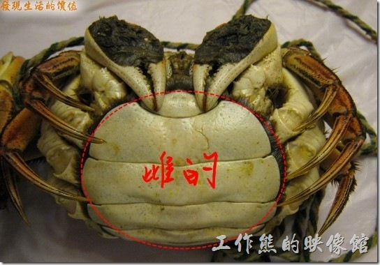 母螃蟹底部的殼舊是一大片的圓形。
