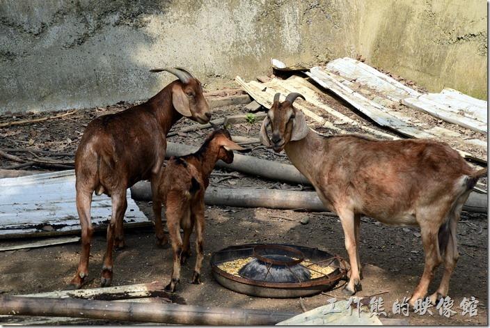 台南新化-王家燻羊肉。停車場的旁邊就可以看到圈養的土羊,不過只有三隻,這應該是給客人欣賞用的。