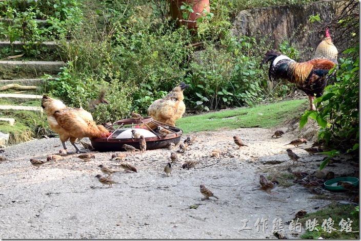 台南新化-王家燻羊肉。終於看到有母雞了,否則整個農場幾乎都是公雞的天下,飼料旁除了土雞之外,連麻雀也一起共享飼料。