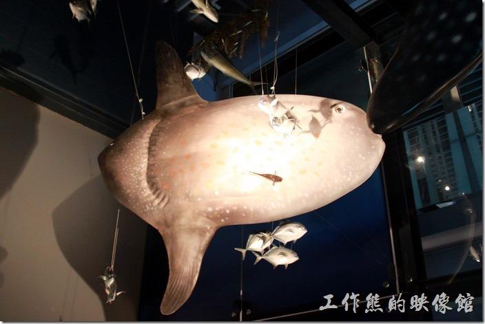 基隆-海洋科技博物館。翻車魚。
