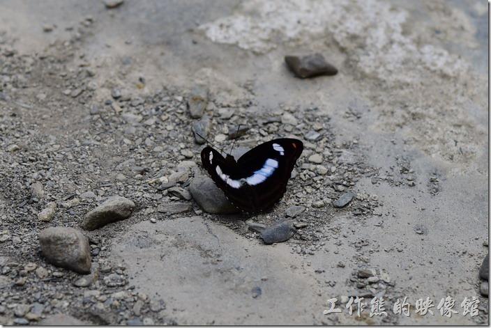 新寮瀑布步道。好不容易在溪水旁看到一隻鳳蝶。