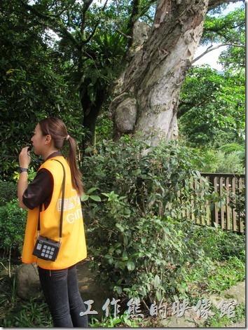 大板根森林溫泉渡假村。茄冬樹有分雌雄,雌株會結果,容易引來成群的鳥類聚食,所以也稱為「鳥類大飯店」,森林園區內的薰風大廳側門旁有兩株雄株,兩株雌株,有機會可以自己觀察一下。