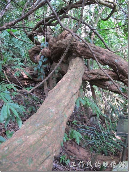 大板根森林溫泉渡假村。這株魚藤的直徑應該已經超過30公分了,實在非常的壯觀。