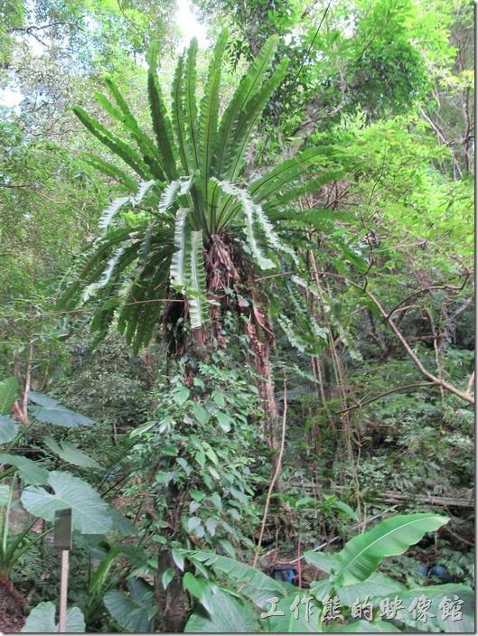大板根森林溫泉渡假村。野生山蘇。山蘇其實可以長得很高大,一般我們吃的山蘇都是經過改良,長得比較矮,方便採收。