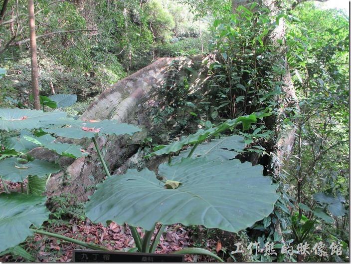 九丁榕板根之王。這是大阪根森林內最大的板根,其樹種為「九丁榕」,板根是雨林喬本植物的特有樣貌,其形成的原因已在前文說明,不在贅述。