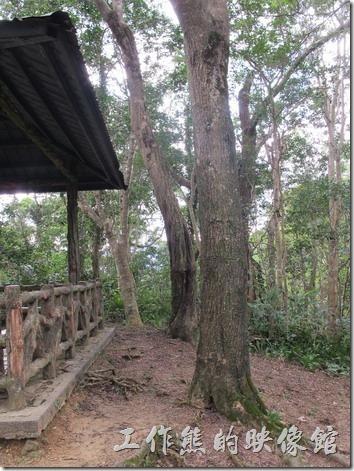 大板根森林溫泉渡假村。相思樹。請注意:相思豆不是長在相思樹上。相思樹具有排他性,所以相思樹的附近很少見到其他的植物伴生。