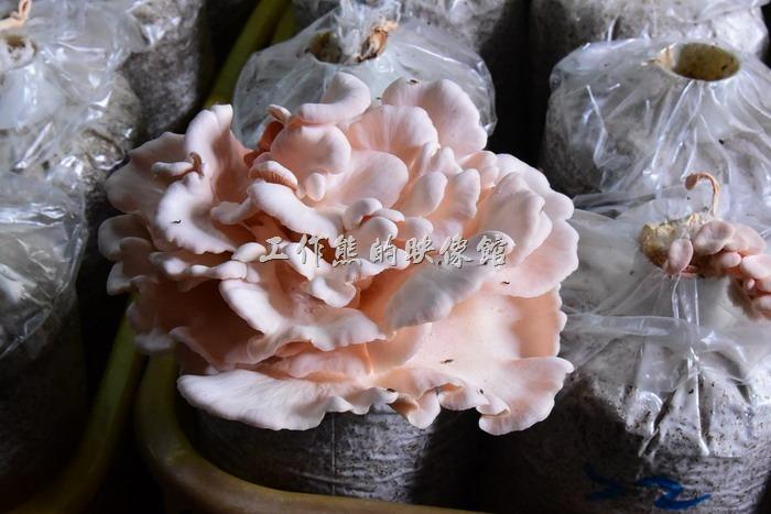 這個是「玫瑰菇」,吃起來有蟹肉的味道附豐富的胺基酸,不過吃起來偏硬。