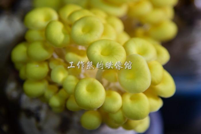 台中新社菇菇部屋。這個是「珊瑚菇」,又叫「黃金菇」。