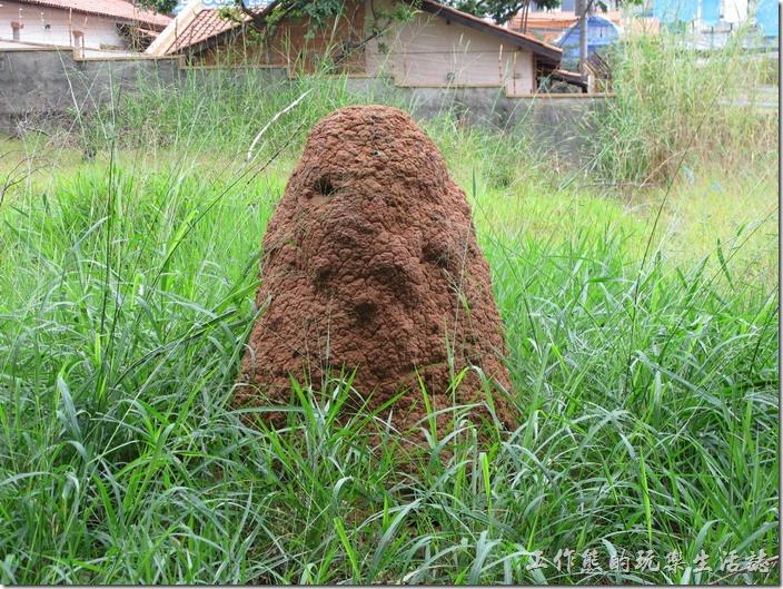 工作熊發現巴西有很多這類的高出地面的蟻丘或蟻塚,每個蟻丘都蓋得老高,這個蟻丘就是在公園旁拍的。