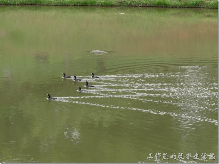 巴西-運動公園。一段時間後這群水鳥像鴨子般下水游泳抓魚去了。