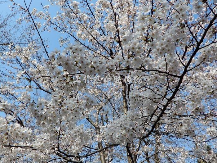 日本-大阪公園。入口からもうちょっと中に歩くと、各種類の桜が見えます